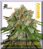 Seed Stockers Amnesia Cannabis Seeds Marijuana Strain